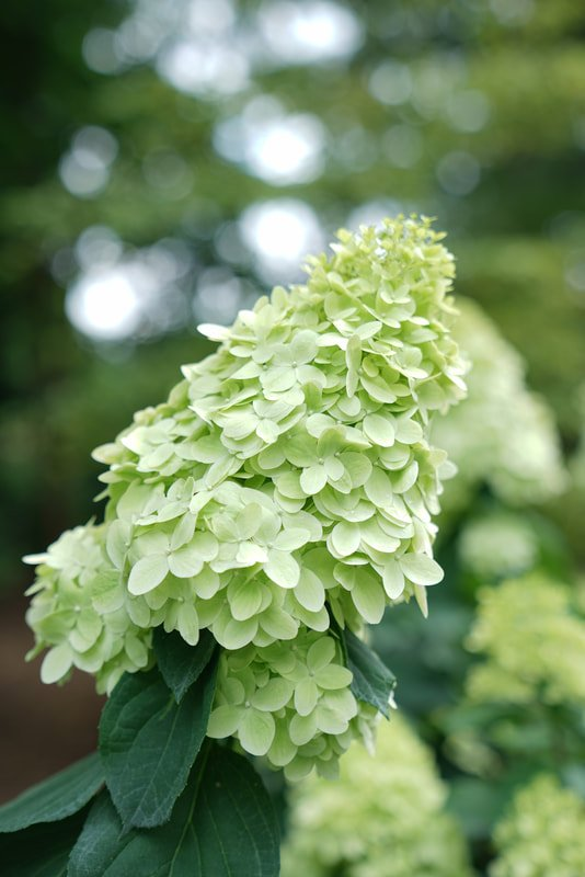lime blooms