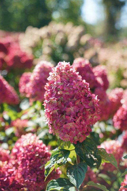 dark pink/red blooms